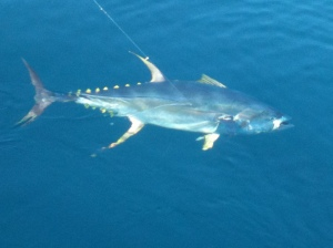 puerto vallarta yellowfin tuna fishing